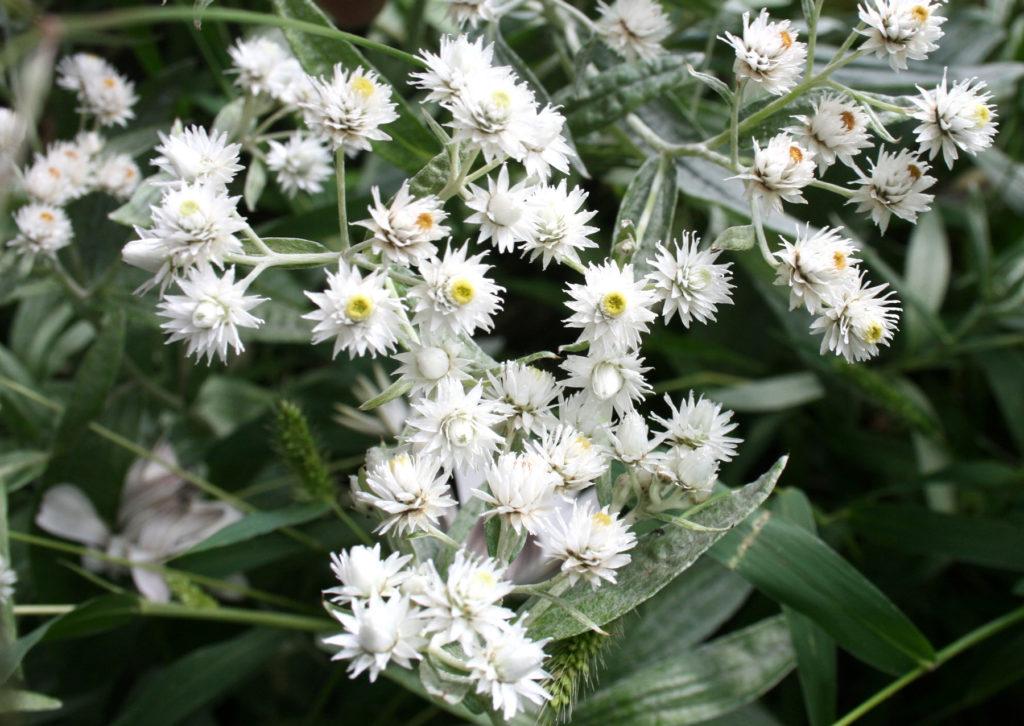 Siberische Edelweiss - anaphalis triplinervis